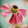 Helenium Flower 1 by Neil Overy