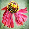Helenium Flower 2 by Neil Overy