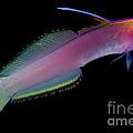 Helfreiky Firefish by Dant� Fenolio