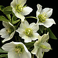 Hellebore Flowers by Sheila Terry