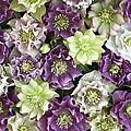 Hellebore Helleborus Sp Flowers by VisionsPictures