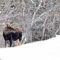 Hello Moose by Cheryl Baxter