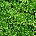 Hens And Chicks Plants Sempervivum by Mike Grandmailson