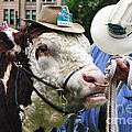 Hereford Bull With Akubra Hat In Hyde Park by Kaye Menner