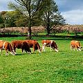 Hereford Bullocks by The Irish Image Collection