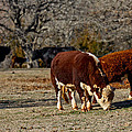 Hereford Cattle by Doug Long