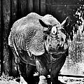 Heres Lookin At You  Kid Indian Rhino  by Michael Frank Jr