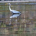 Heron Fishing by Ramie Liddle