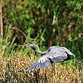 Heron Flying Along The River Bank by Bill Dodsworth