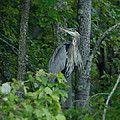 Heron On A Limb by Shirley Tinkham