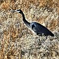Heron On The Hunt by Don Mann