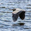 Heron Over Water by Kaye Seaboch