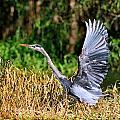 Heron Taking To Flight by Bill Dodsworth