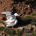 Herring Gulls Mating by Howard Kennedy