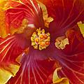 Hibiscus Center by Joe Carini - Printscapes