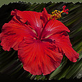 Hibiscus Flower by Jeffrey Graves