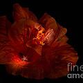 Hibiscus Glow by Ann Garrett