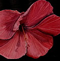 Hibiscus Happiness by Kathy Michels