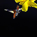 Hibiscus Hummer On Black by Lynn Bauer