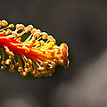 Hibiscus Pollen by KH Lee