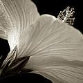 Hibiscus by Raffaella Lunelli