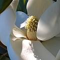 Hidden Magnolia by Carol Groenen