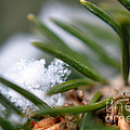 Hidden Snowflake In Pine Needles  by Lila Fisher-Wenzel