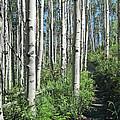Hiking Through Aspens At Beaver Creek by James Woody