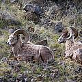 Hillside Rams by Steve McKinzie