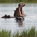 Hippo In Water Exhibits Aggresive by Roy Toft