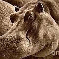 Hippo Of Khwai by Mareko Marciniak