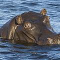 Hippopotamus Hippopotamus Amphibius by Suzi Eszterhas