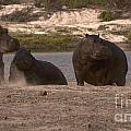 Hippos And Baboons by Mareko Marciniak