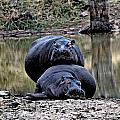 Hippos In Love by Paul Fell