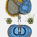 Historical Illustration Of Honey Bee Eye by Photo Researchers