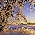 Hoar Frost On Tree, Milton, Prince by John Sylvester