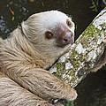 Hoffmanns Two-toed Sloth Costa Rica by Suzi Eszterhas