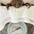 Hoffmanns Two-toed Sloth Orphan by Suzi Eszterhas