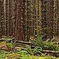 Hoh Rainforest by Mark Kiver