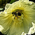Hollyhock Collecter by Susan Herber