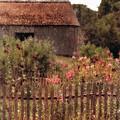 Hollyhocks And Thatched Roof Barn by Jill Battaglia