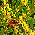 Honey Bee And Sedum  by Chris Berry
