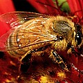 Honey Bee by Chris Berry