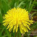 Honey Bee Full Of Pollen by Renee Trenholm
