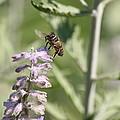 Honey Bee In Flight On Lavender by David Dinsdale