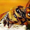 Honey Bee by Ion Para