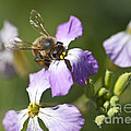 Honey Bee by Jim And Emily Bush