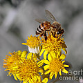 Honey Bee by Mitch Shindelbower