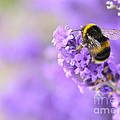 Honey Bee by Susan Wall
