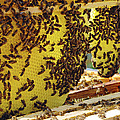 Honey Bees On A Beehive And Honeycombs by Ria Novosti